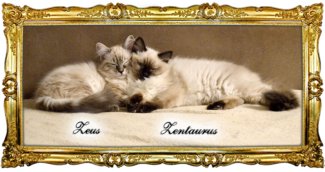 Kitten, Ragdoll, kaufen, Hessen, Kassel, Z-Wurf