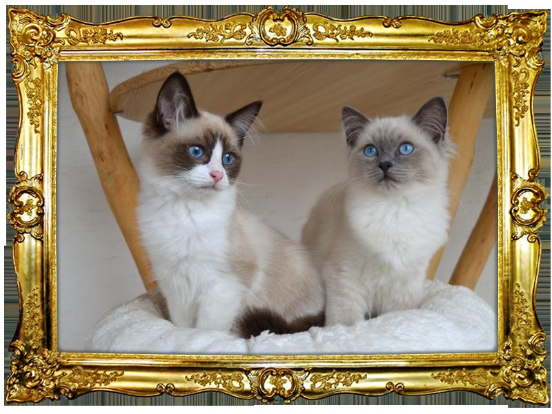 Ukalegon ist ein Seal Point Bicolor Katerchen und Undine ist ein hübsches Mädchen ist Blue Point. Beide tragen Chocolate.