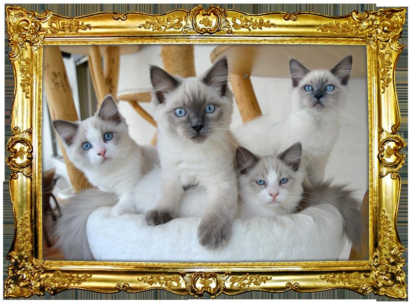 Kitten, Ragdoll, kaufen, Hessen, Kassel